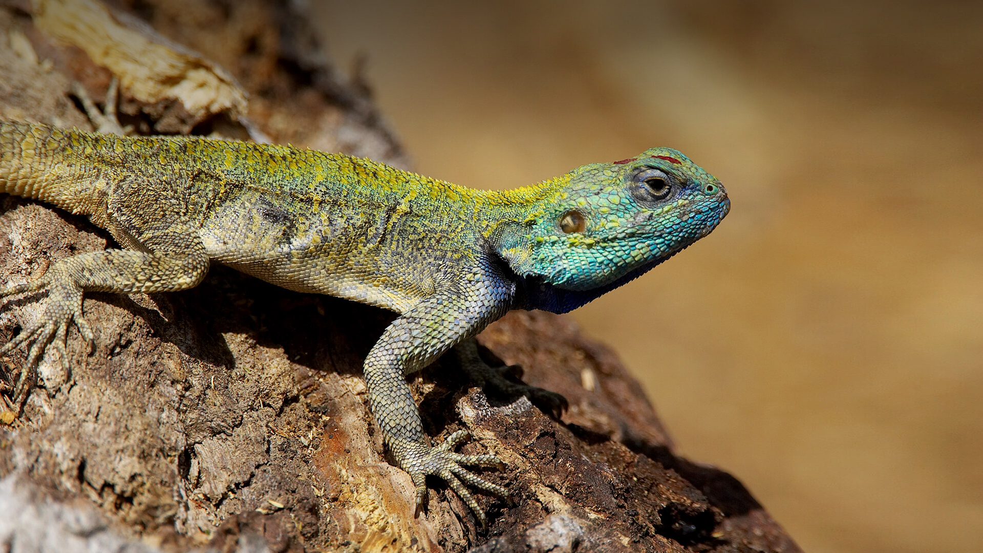How to get lizard away from home? Home remedies for lizard escape.